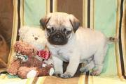 Sweet And Healthy Pug Puppies For Caring Homes