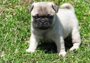 lovely female pug puppy for good homes(williamdenis789@yahoo.com)