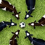 Football Cows
