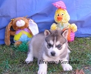 lovely husky for freee adoption fora good and caring home with kids
