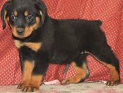 Rottweiler  puppies redy