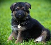 Three Beautiful Pug Boys - Only 1 Left Now German Shepherd Pupies