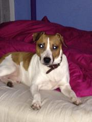 stud ready to breedhe is a short haired jack russell called taz