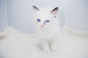 Last Beautiful Ragdoll Boy Tica Active For Sale