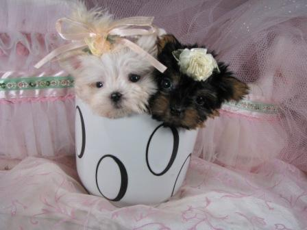 pug puppies: Tiny Micro Teacup Yorkie Puppies Sale