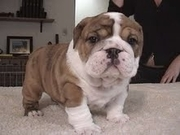Beautiful english bulldog puppy