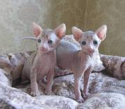 Beautiful Bald,  TICA Registered Sphynx kittens with stunning blue eye